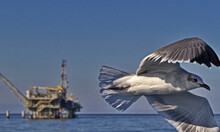 Laughing Gull Flies Past With Oil Rig Platform Behind And Made Subtle Through Depth Of Field In Waters Of Mobile Bay, Alabama, United States