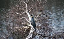 Great Cormorant (Phalacrocorax Carb) Resting On A Tree By The Lake.