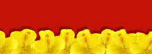 Yellow Hibiscus Flowers On A Red Background, Floral Border. Place For Text, Copy Space.