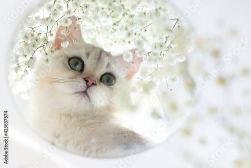 Fototapeta Portrait of a white British kitten in a round mirror. obraz