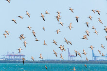 Migratory Shorebirds, Bar-tailed Godwits, Flying Over, Moreton Bay With Port Cranes In Background