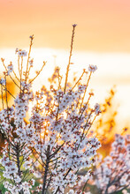 Sunset Behind Fruit Trees Covered In Spring Blossom