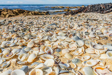 Ground Level View Of Hundreds Of Pippy Shells Lining A Sandy Beach