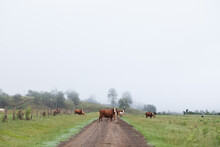 Herd Of Cows Standing On A Dirt Track