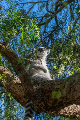 Fototapeta premium VALENCIA, SPAIN - FEBRUARY 26 : Ring Tailed Lemur at the Bioparc in Valencia Spain on February 26, 2019