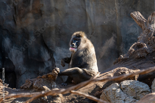 Tela VALENCIA, SPAIN - FEBRUARY 26 : Mandrill at the Bioparc in Valencia Spain on Feb
