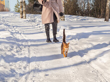 A Girl Walks With A Bengal Domestic Cat On A Snow Road In Winter. A Woman In Black Shiny Leather Leggings On Her Feet And A Pink Coat Is Traveling With A Kitten Pet On A Sunny Spring Day.
