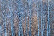 USA, Idaho, Bellevue, Birch Trees Forest