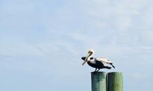 A Pelican Ready To Take Flight