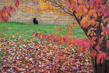 Black Cat Amongst Autumn Colours In East Grinstead