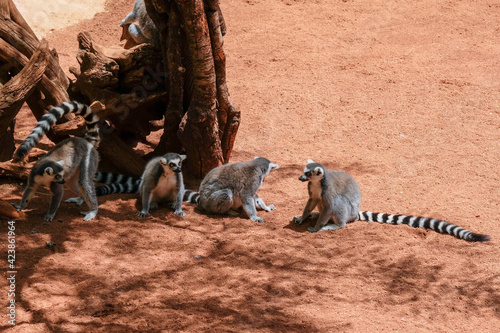 Fototapeta premium FUENGIROLA, ANDALUCIA/SPAIN - JULY 4 : Ring-tailed Lemurs (Lemur catta) at the Bioparc in Fuengirola Costa del Sol Spain on July 4, 2017