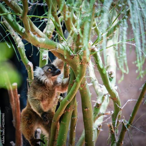 Fototapeta premium FUENGIROLA, ANDALUCIA/SPAIN - JULY 4 : Female Black Lemur at the Bioparc in FuengirolaCosta del Sol Spain on July 4, 2017