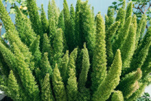 Asparagus Densiflorus, Asparagus Fern, Plume Asparagus Or Foxtail Fern Green Stems Close-up, Horizontal Outdoors Summer Tropical Floral And Botanical Stock Photo Image Photography Wallpaper