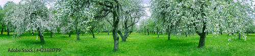 beautiful landscape with blossoming white apple trees in spring orchard