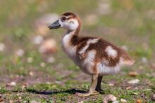 Egyptian Goose Gosling - Alopochen Aegyptiaca