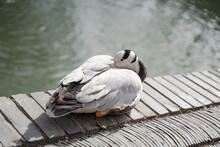 Bar-headed Geese Resting On The Roadside