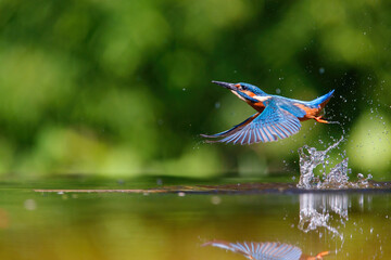 Common Kingfisher (Alcedo atthis) flying away with a fish after diving for fish in the forest in the Netherlands