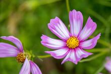Garden Cosmos (Cosmos Bipinnatus Cav.) Growing And Flowering In A Garden In Italy