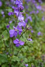 紫のダイコンノハナをアップ(オオアラセイトウ/Orychophragmus  Violaceus)