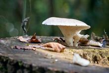 White Mushroom Growing On A Rotting Tree Stump