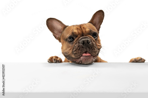 Fototapeta premium Young brown French Bulldog playing isolated on white studio background