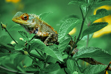 Common Chameleon Or Mediterranean Chameleon. Chamaeleo Chamaeleon Is One Of Only Two Extant Species Of Chamaleonidae