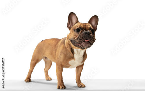 Fototapeta Young brown French Bulldog playing isolated on white studio background