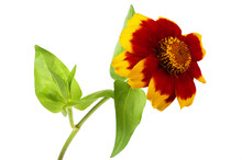 Yellow-red Zinnia Isolated On White. Very Detailed
