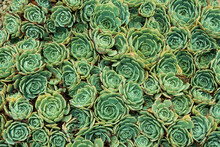 Succulent Echeveria Plant With Water Drops.