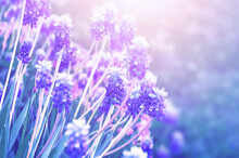 Spring Flowers Muscari, Spring Flower Background