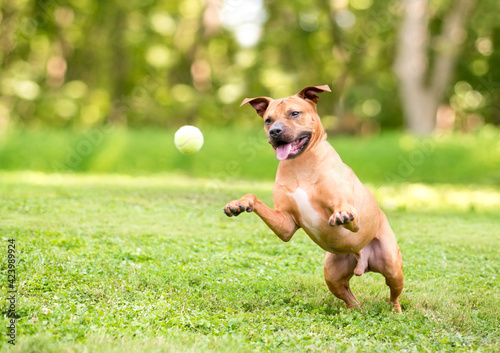 Fotografering A Pit Bull Terrier mixed breed dog playing with a ball