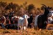 canvas print picture - Ziegenherde in der Abendsonne
