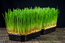 Wheat Microgreen On A Black Background. Texture Of Green Stems Close Up On A Wooden Board.