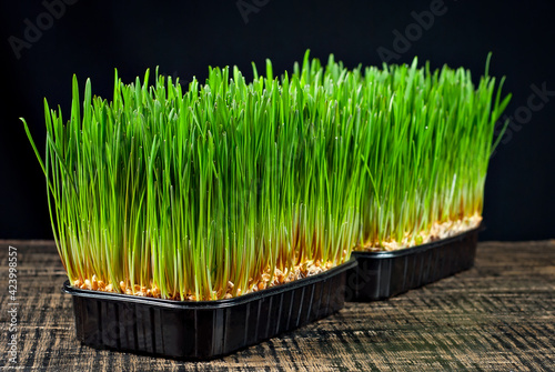 Canvas Print Wheat microgreen on a black background