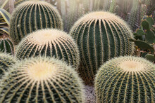 Large Group Of Barrel Cactus In Botanical Garden. Nature Background. Selective Focus