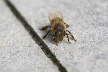 Close-up Of Pollen-covered Bee Resting On A Paving Slab. Macro. Short Depth Of Field.