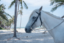 A White Headed Horse On The Sandy Beach Of Hua Hin.