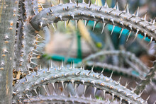 Green Blue Cacti With Dangerous Long Stiff Prickles Spines Close-up In The Wild.
