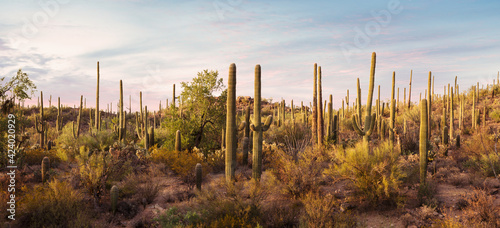 Obraz na płótnie Panoramic view of  Cactus thickets in the rays of the setting sun, Saguaro National Park, southeastern Arizona, United States