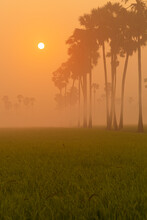 Wonderland Of The Rice Field In Thailand At Sunrise. The Rice Is Germinated In The Fields Of Thailand. Sugar Palm Trees In Rice Field At Sunrise In The Morning Fog.