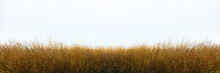 Tall Yellow Wild Grass Against An Isolated White Sky ,background.