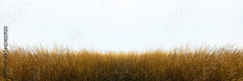 Billede på lærred Tall yellow wild grass against an isolated white sky ,background.