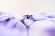 Macro Photo Of Flowers, Purple Daisy  With Water Drop