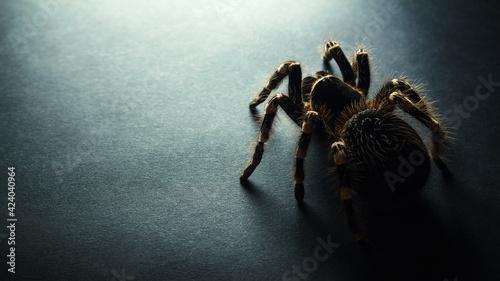 Tela spider on black background