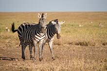 Zebras On The Serengeti National Park, Tanzania