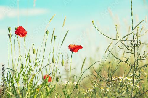 Fototapeta Field with red poppies, colorful flowers against the blue sky obraz na płótnie