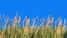 Panorama Of High Grass Isolated With Alpha Mask Blowing On The Wind