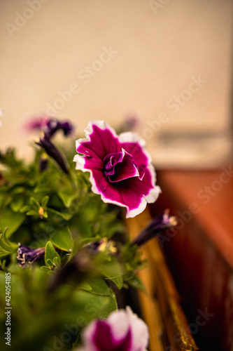 Obraz kwiat surfinia fioletowy, lato - fototapety do salonu
