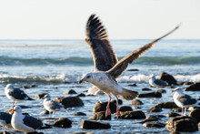 Sea Gull In Flight, Preparing To Land On Southern California Beach. More Gulls In Background, Standing Among Rocks Littered In The Incoming Surf. Pacific Ocean In Distance.