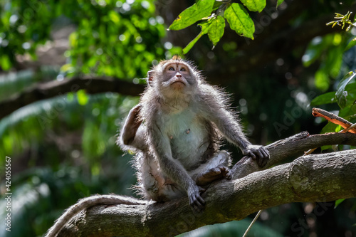 Tablou Canvas Young Macaque monkey (Macaca Fascicularis), crouched on tree limb, scratching with his hind leg